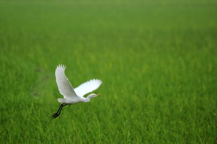 Egret the White
