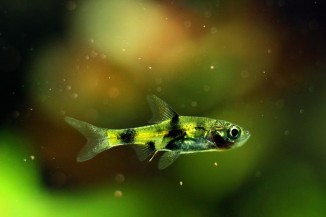 Golden Dwarf Barb